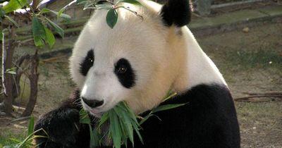Zum Totlachen: 10 kuriose Fakten über Pandas!