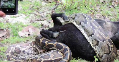Die Augen größer als der Magen: Python frisst RIESIGE Beute!