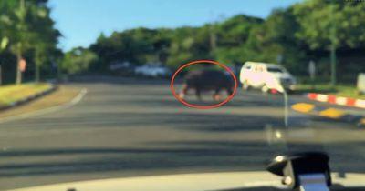 Verrückt: Am helllichten Tag kreuzte ein Nilpferd die Straße!
