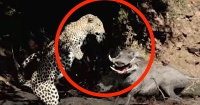 Fast gestorben vor Schreck: Diesen Angriff hatte sich der Leopard bestimmt anders vorgestellt!
