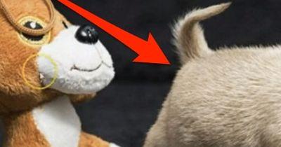 Tiny Toudi ist der kleinste Hund der Welt