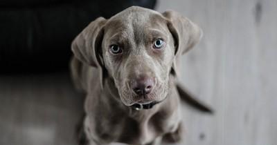 5 Zeichen dafür, dass dein Hund Schmerzen hat und sie verstecken will