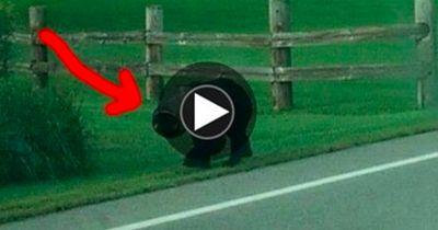 Auf dem Kopf dieses Bären steckt ein Gegenstand, der da nicht hingehört