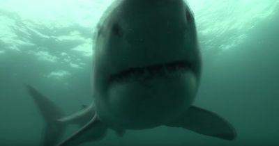Ein weißer Hai beißt zu - näher kommst du NICHT an diese Tiere heran!