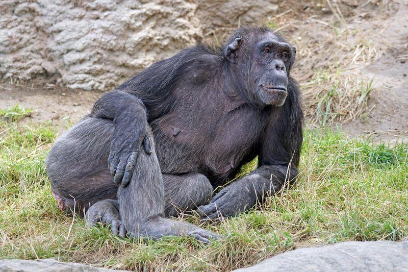 So ähnlich sind sie uns wirklich: 10 verblüffende Fakten über Schimpansen!