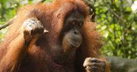 Verrückter Diebstahl: Orang-Utan-Dame sorgt für UNGLAUBLICHE Bilder!