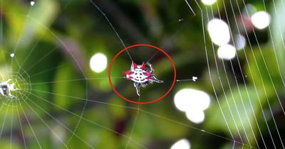 Rekordverdächtig: Hast du schon einmal eine Spinne ihr Netz spinnen sehen?
