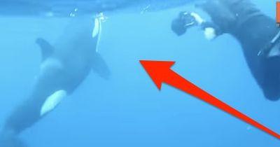 Jäger wird zur Beute: Dieser Hai hatte gegen seine riesigen Angreifer keine Chance!
