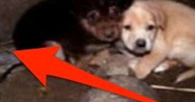 Zwei Welpen fallen in ein Loch. Doch die tödliche Gefahr lauert neben ihnen!