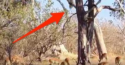 Der Tod kommt von oben: Können Leoparden nun fliegen?