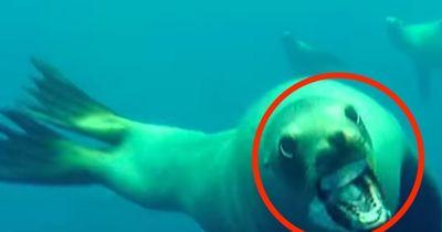Neugieriger Seelöwe gegen verdutzten Taucher