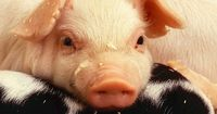 Sau komisch: 10 irre Fakten über Schweine!