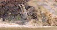 Tödlicher Hinterhalt: Jaguar stürzt sich auf ahnungsloses Opfer!