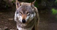 Teil des Rudels: Dieser Mann lebt in einem Wolfsrudel!