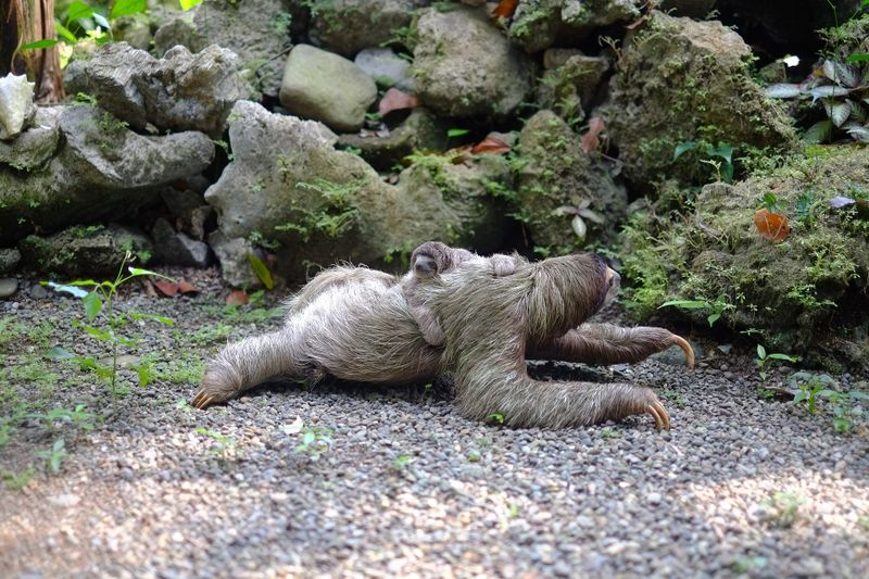 Witzig und traurig zugleich: Irre Fakten über Faultiere!