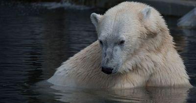 Passend zur Jahreszeit: Das MUSST du über Eisbären wissen!