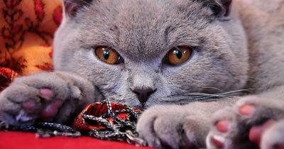 Die 5 beliebtesten Katzenrassen der Deutschen!
