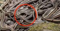 Dieses Video ist nichts für Menschen, die Angst vor Schlangen haben.