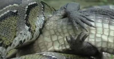 UNGLAUBLICH: Python frisst kompletten Alligator!