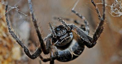 Die Trichternetz-Spinne