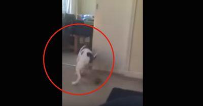 Dieser Hund schaut gerne Darts!