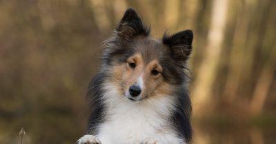 Hundesteuer