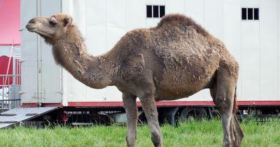 6 alarmierende Gründe gegen Tiere im Zirkus!