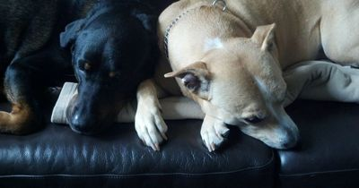Wie kannst du deinen Hund vor dem gefährlichen amerikanischen Floh schützen?