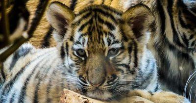 Wilderer töteten die Mutter dieser 3 Tigerjungen - und ließen die Kleinen zum Sterben allein!