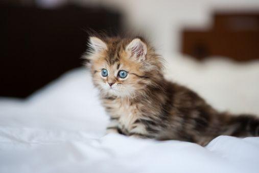Brown Persian Cat For Sale