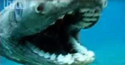 Prähistorischer Hai auf Kamera aufgenommen