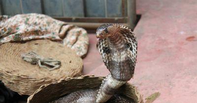 Verrückt: Dieses Baby wird von 4 (!) hochgiftigen Kobras bewacht!