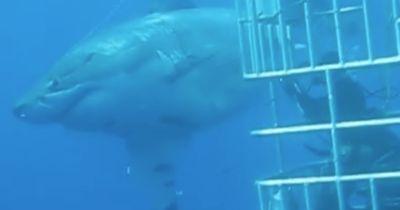 Der größte jemals gefilmte Hai