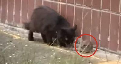 Es ist zwar klein, aber verdammt mutig: Dieses Tier greift 4 Katzen auf einmal an!