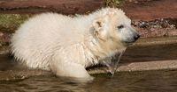 Das Eisbär-Baby im Columbus Zoo in den USA hat einen Namen!