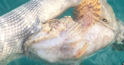 Gewaltiger Steinfisch im Ozean entdeckt