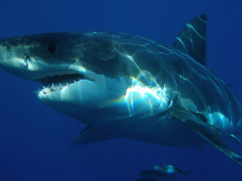 Mehr Hai-Attacken auf Menschen als jemals zuvor!