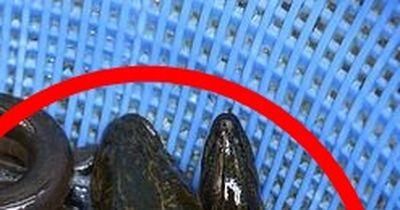 Der tödlichste Aal der Welt