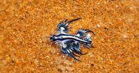 So klein und doch so tödlich: Die blaue Ozeanschnecke