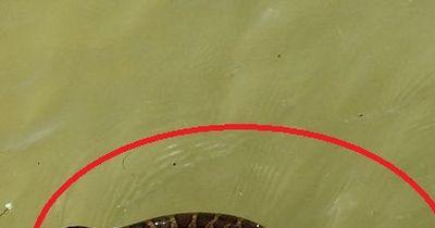 Giftige Seeschlange an der Küste Kaliforniens gefunden!