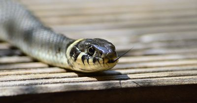 So erkennst du, ob eine Schlange giftig ist!