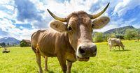 Ku(h)rios: 6 unglaublich irre Fakten über Kühe!