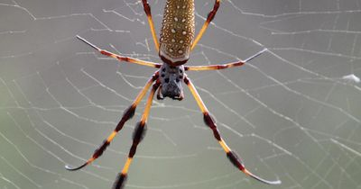 Diese MONSTER-Spinne FRISST VÖGEL