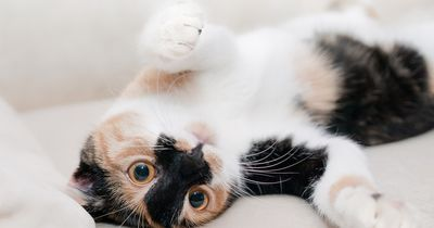 SELTENE Katzenrassen