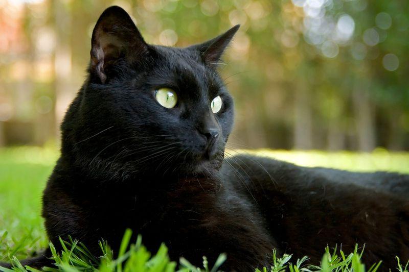 schwarze katzen bringen ungl ck woher stammt dieser irrglaube. Black Bedroom Furniture Sets. Home Design Ideas