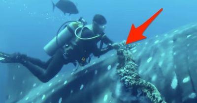 Dieser Taucher nähert sich einem Riesen-Hai!