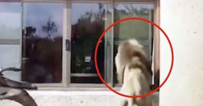 Schau dir an, was dieser Löwe tut, als er sich selbst in der Scheibe sieht!