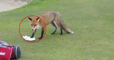Dieser Fuchs ist KRIMINELL