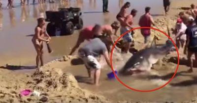 Dieser Hai hätte Hunderte von Menschen töten können...