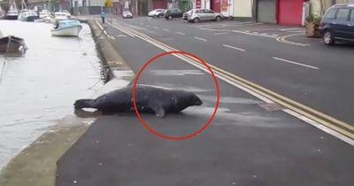 Dieser Seehund überquert eine Straße JEDEN TAG